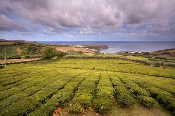 Plantação Chá Vale Formoso