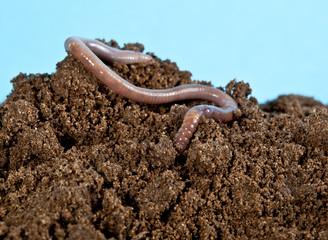 Earthwarm in a heap of soil