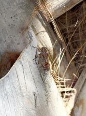 European cicada