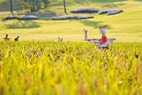 Scarecrows on the rice field with selected focus