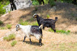 goats in the wildness Turkish valley