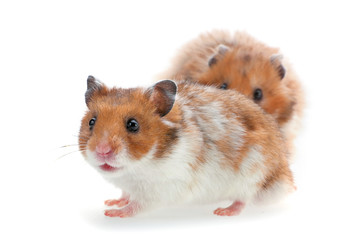 Red and white hamster