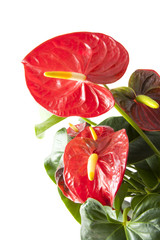 Red anthurium