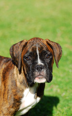 Boxer puppy portrait