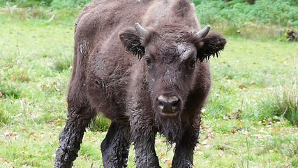 young european bison
