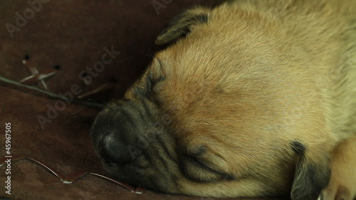 newborn puppy sleeping closeup