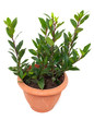 bay laurel tree in flowerpot on white background