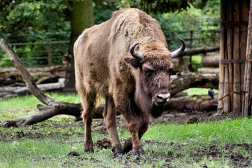 Bison bonasus (żubr)