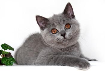 Britisch Kurzhaar Kitten - liegend