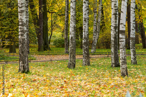 Fotobehang Berkbosje birch trees in the park with maple leaves