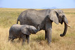 Baby Elephant with Mother Standing Standing in Grass