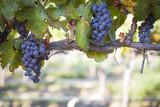 Lush, Ripe Wine Grapes on the Vine - Fine Art prints