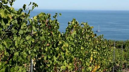 Vineyard near the sea (terroir). Crimea, Black sea