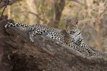 Leopard in Mashatu Game Reserve, Botswana