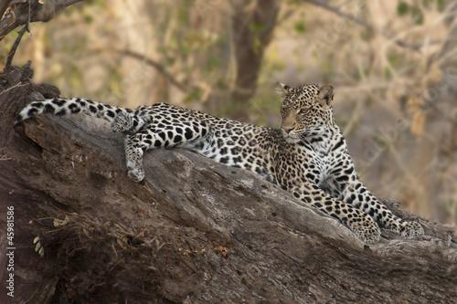 Fotobehang Luipaard Leopard in Mashatu Game Reserve, Botswana