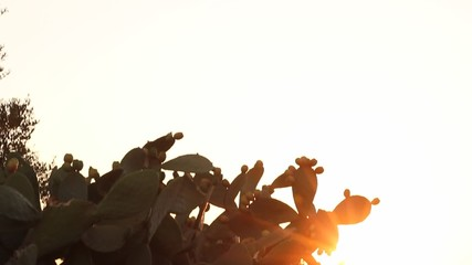 Sun shining through branches of Indian fig cactus