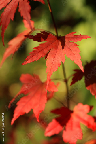 Beautiful, red japanese maple tree leaves