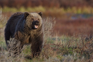 Grizzly Bear showing teeth, Yellowstone National Park