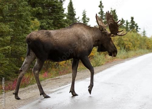 Poster Hert bull moose - alaska