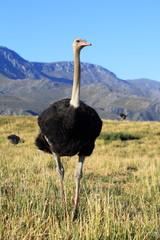 Vogelstrauß vor Klein Karoo Bergpanorama