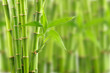Fototapeten,hintergrund,bambus,landesgrenzen,botanisch