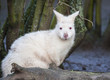 Close up of an Albino Wallaby