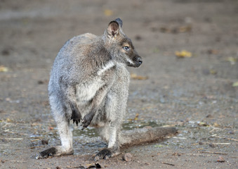 Close up of a Wallaby
