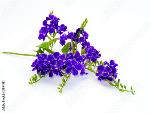 Violet color of Duranta erecta L. Verbenaceae