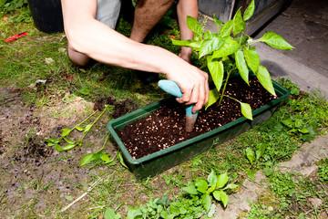 Junger gärtner pflanzt Paprika Pflanzen