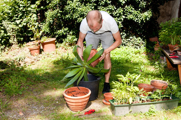 Gärtner pflanzt aloe Vera Pflanze um