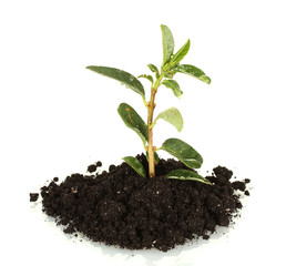growing plant in land isolated on white background