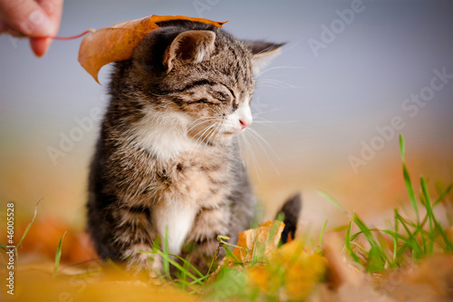 adorable tabby kitten under an autumn leaf