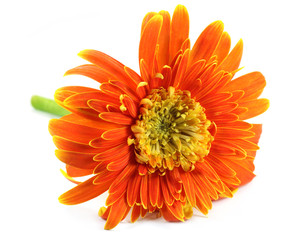Close up of a gerbera flower over white background