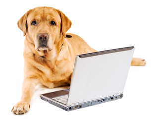 labrador working on laptop