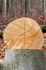 Buche gefällt - Baumstamm mit Jahresringen