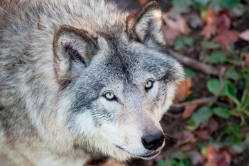 Gray Wolf Closeup