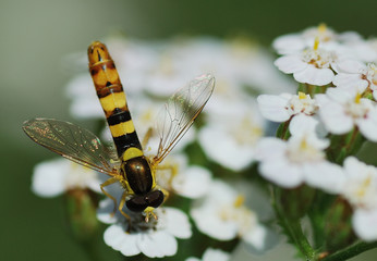 wasp like