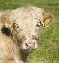 Highlandrind-Kalb Portrait