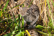 Fishing Cat Hunting in Long Grass