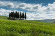 The famous group of cypresses in Val d' Orcia, Tuscany
