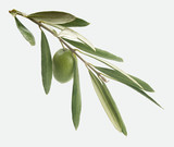 Branch with olive