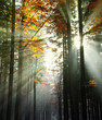 sun beams in an autumn morning wood