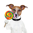 candy lollypop  licking  dog