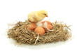 beautiful little chicken and eggs in nest, isolated on the