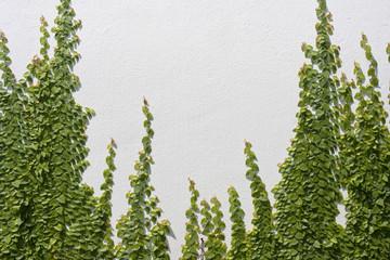 Climbing Ficus pumila on white wall