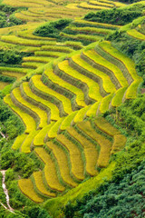 Gold terraced rice fields in Mu Cang Chai, Vietnam