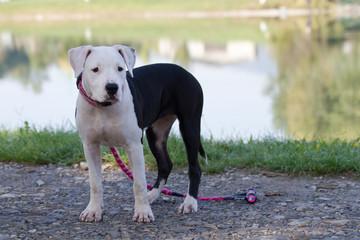 American Staffordshire Terrier cucciola bianca e nera