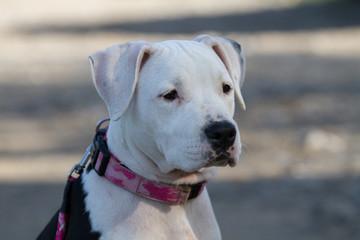 Ritratto American Staffordshire Terrier bianca e nera