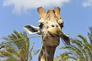 Close-Up of a smirking Giraffe
