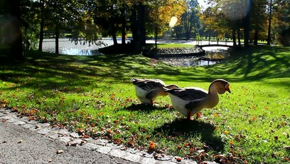 Geese in the park.